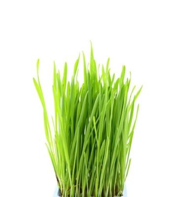 weizengrasbild bio